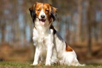 Nederlandse Kooikerhondje Dog Names for Male and Female Puppies
