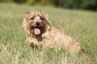 Norfolk Terrier Dog Names for Male and Female Puppies