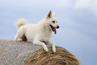 Norwegian Buhund Dog Names for Male and Female Puppies
