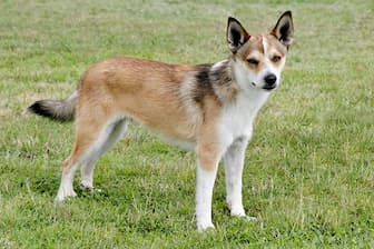 Norwegian Lundehund Dog Names for Male and Female Puppies