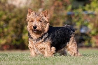 Norwich Terrier Dog Names for Male and Female Puppies