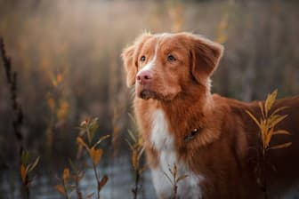 Nova Scotia Duck Tolling Retriever Dog Names for Male and Female Puppies