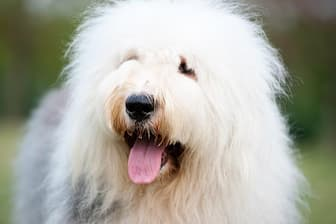 Old English Sheepdog Dog Names for Male and Female Puppies