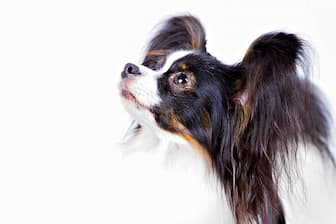 Papillon Dog Names for Male and Female Puppies