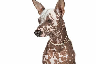 Peruvian Inca Orchid Dog Names for Male and Female Puppies