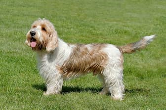 Petit Basset Griffon Vendeen Dog Names for Male and Female Puppies