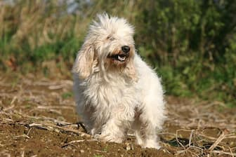 Petit Basset Griffon Vendeen Rescue Names for Dogs