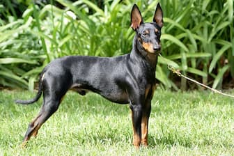 Toy Manchester Terrier Names for Dogs