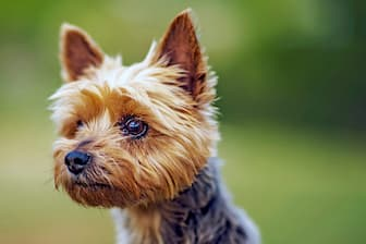 Australian Silky Terrier Dog Names for Male and Female Puppies