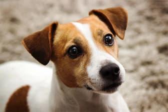 Cute Jack Russell Terrier Names