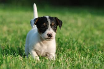 Female Jack Russell Terrier Names for Dogs