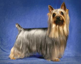 Female Names for Silky Terrier Dogs