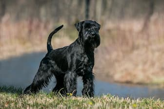 Female Names for Standard Schnauzer Dogs