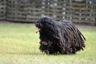 Female Puli Names for Dogs