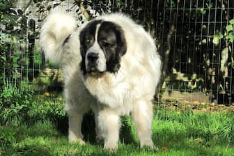Female Pyrenean Mastiff Names for Dogs