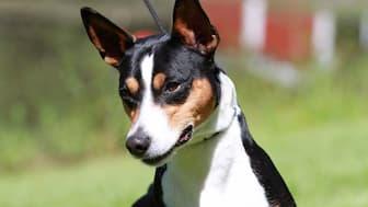 Female Rat Terrier Names for Dogs