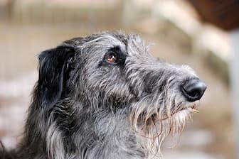 Female Scottish Deerhound Names for Dogs
