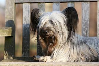 Female Skye Terrier Names for Dogs