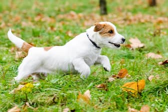 Jack Russell Terrier Dog Names for Male and Female Puppies