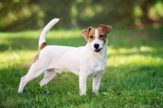 Male Jack Russell Terrier Names for Dogs
