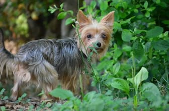 Male Names for Silky Terrier Dogs