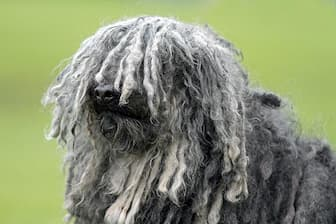 Male Puli Names for Dogs