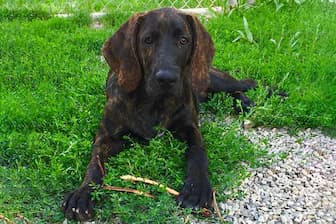 Plott Hound Dog Names for Male and Female Puppies