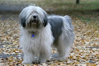 Polish Lowland Sheepdog Names for Male and Female Puppies