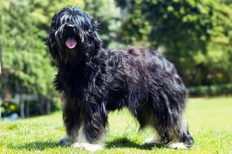 Portuguese Sheepdog Names for Male and Female Puppies