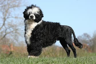 Portuguese Water Dog Names for Male and Female Puppies