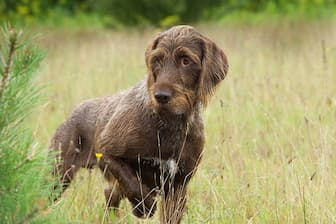 Pudelpointer Dog Names for Male and Female Puppies