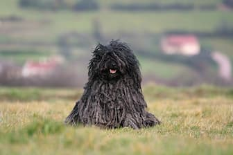 Puli Dog Names for Male and Female Puppies