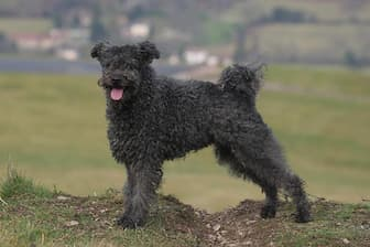 Pumi Dog Names for Male and Female Puppies