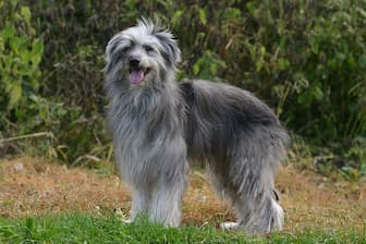 Pyrenean Shepherd Dog Names for Male and Female Puppies
