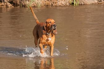 Redbone Coonhound Dog Names for Male and Female Puppies