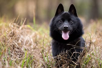 Schipperke Dog Names for Male and Female Puppies