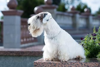Sealyham Terrier Dog Names for Male and Female Puppies