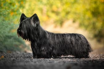 Skye Terrier Dog Names for Male and Female Puppies