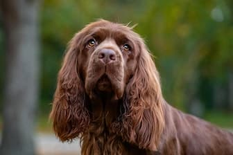 Sussex Spaniel Dog Names for Male and Female Puppies