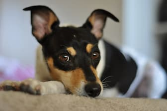 Toy Fox Terrier Rescue Names