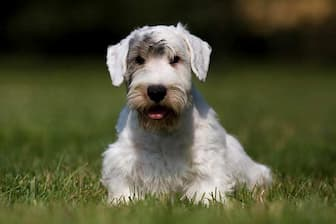 Working Sealyham Terrier Names for Dogs